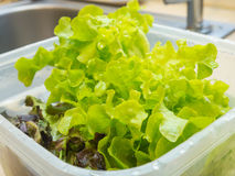 Υδροπονικό λαχανικό. Στοκ φωτογραφία με δικαίωμα ελεύθερης χρήσης