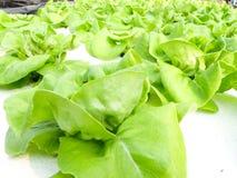 Υδροπονικό λαχανικό Στοκ Φωτογραφίες