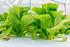 Υδροπονικό λαχανικό Στοκ Εικόνα