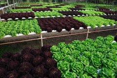 υδροπονικό λαχανικό Στοκ εικόνες με δικαίωμα ελεύθερης χρήσης