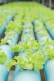 υδροπονικό οργανικό λαχανικό Στοκ εικόνες με δικαίωμα ελεύθερης χρήσης
