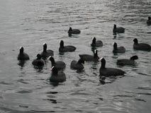 Υδρόβια πουλιά Στοκ εικόνες με δικαίωμα ελεύθερης χρήσης