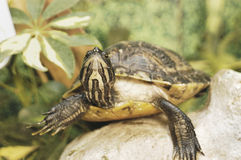 Υδρόβια χελώνα Στοκ Φωτογραφίες