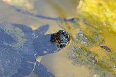 Υδρόβιο κεφάλι χελωνών Στοκ φωτογραφία με δικαίωμα ελεύθερης χρήσης