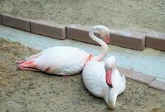 Υδρόβιο πουλί φλαμίγκο Στοκ Εικόνες