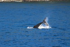 Φάλαινα, αμφισβητήσιμος ήχος, εθνικό πάρκο Fiordland, νότιο νησί, Νέα Ζηλανδία στοκ εικόνες