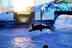 Φάλαινα δολοφόνων στον κόσμο θάλασσας Στοκ Φωτογραφία