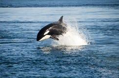 Φάλαινα δολοφόνων Στοκ εικόνα με δικαίωμα ελεύθερης χρήσης