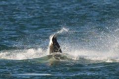 Φάλαινα δολοφόνων, Orca, Στοκ Φωτογραφίες
