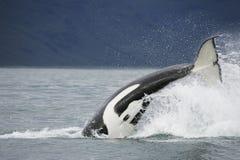 φάλαινα ουρών δολοφόνων στοκ εικόνες