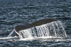 φάλαινα ουρών Στοκ εικόνα με δικαίωμα ελεύθερης χρήσης