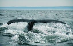 φάλαινα ουρών Στοκ εικόνες με δικαίωμα ελεύθερης χρήσης