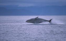 φάλαινα παραβιάσεων Στοκ Φωτογραφίες
