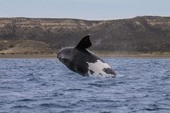 Φάλαινα Παταγωνία Αργεντινή στοκ εικόνες