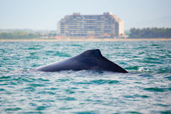 φάλαινα προσοχής Στοκ Εικόνα
