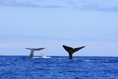 φάλαινα σπέρματος τρηματω&d Στοκ φωτογραφία με δικαίωμα ελεύθερης χρήσης