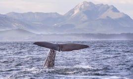 Φάλαινα σπέρματος Kaikoura στοκ φωτογραφία με δικαίωμα ελεύθερης χρήσης