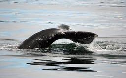 φάλαινα Στοκ εικόνα με δικαίωμα ελεύθερης χρήσης