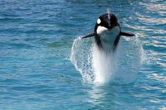 φάλαινα 5 δολοφόνων Στοκ Εικόνες