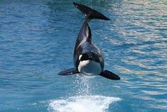 φάλαινα 6 δολοφόνων Στοκ εικόνα με δικαίωμα ελεύθερης χρήσης