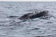 Φάλαινα Humpback που αυξάνει το κεφάλι από το νερό Στοκ εικόνες με δικαίωμα ελεύθερης χρήσης