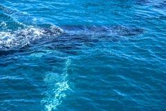Φάλαινα Humpback που καταδύεται στον ωκεανό στοκ φωτογραφίες με δικαίωμα ελεύθερης χρήσης
