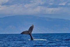 Φάλαινα Humpback που κυματίζει τον τρηματώδη σκώληκά του στους παρατηρητές φαλαινών στο ηλιοβασίλεμα κοντά σε Lahaina σε Maui στοκ φωτογραφίες με δικαίωμα ελεύθερης χρήσης