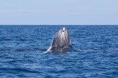Φάλαινα Humpback που προκύπτει από τον ωκεανό Στοκ Εικόνες