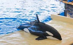 φάλαινα orca Στοκ φωτογραφία με δικαίωμα ελεύθερης χρήσης