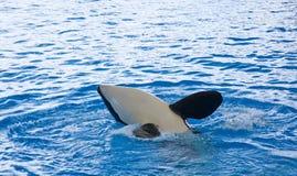 φάλαινα orca Στοκ Φωτογραφία