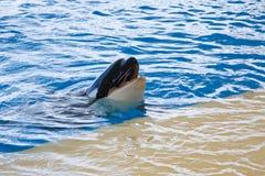 φάλαινα orca Στοκ εικόνα με δικαίωμα ελεύθερης χρήσης