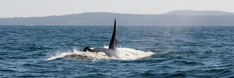 φάλαινα panarama δολοφόνων Στοκ Εικόνα