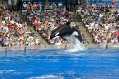 φάλαινα shamu δολοφόνων στοκ φωτογραφία με δικαίωμα ελεύθερης χρήσης