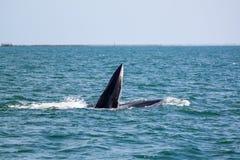 Φάλαινες Bruda ή φάλαινες bryde στον κόλπο της Ταϊλάνδης Στοκ Εικόνα