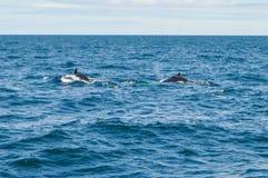 Φάλαινες Humpback παράκτια της Βοστώνης, μΑ, ΗΠΑ στον Ατλαντικό Ωκεανό στοκ εικόνες