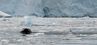 Φάλαινες Humpback που εμφανίζονται μέσω του σπασμένου πάγου, ανταρκτική χερσόνησος στοκ φωτογραφία
