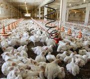 Φάρμα πουλερικών Στοκ Εικόνα