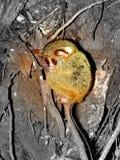 Φάσμα Tarsius, Tangkoko, ο Βορράς Sulawesi Στοκ φωτογραφία με δικαίωμα ελεύθερης χρήσης