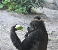Φάτε τα πράσινά σας ο κ. gorilla στοκ εικόνες