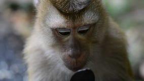 φάτε τον πίθηκο καρπού Στενό επάνω βίντεο πιθήκων Macaque απόθεμα βίντεο