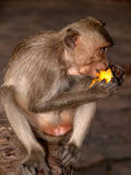 φάτε τον πίθηκο καρπού Στοκ Εικόνες
