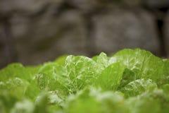 Φάτε το μαρούλι Στοκ φωτογραφία με δικαίωμα ελεύθερης χρήσης