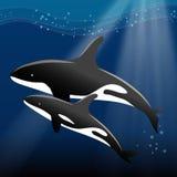 Φάλαινα και ο μόσχος της που κολυμπούν στον ωκεανό Στοκ Φωτογραφίες