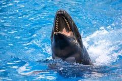 Φάλαινα δολοφόνων γέλιου Στοκ Εικόνα