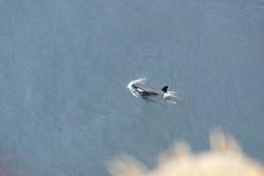 Φάλαινα δολοφόνων κοντά στην ισλανδική ακτή Στοκ Εικόνες