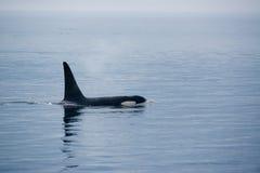 Φάλαινα δολοφόνων με τα τεράστια ραχιαία πτερύγια στο Νησί Βανκούβερ Στοκ Φωτογραφίες