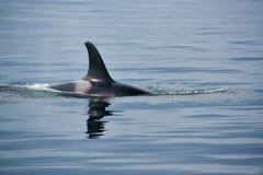Φάλαινα δολοφόνων με τα τεράστια ραχιαία πτερύγια στο Νησί Βανκούβερ Στοκ Εικόνα