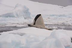 Φάλαινα δολοφόνων με τη σφραγίδα Στοκ φωτογραφία με δικαίωμα ελεύθερης χρήσης