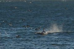 Φάλαινα δολοφόνων, Παταγωνία Αργεντινοί Στοκ Φωτογραφία
