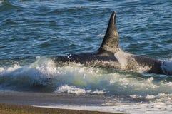 Φάλαινα δολοφόνων, Παταγωνία Αργεντινοί Στοκ Εικόνες